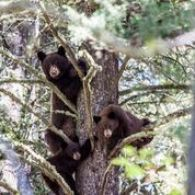 Yellowstone Black Bears in Trees