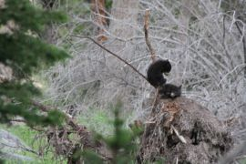 Black bear cubs in a tree - Yellowstone