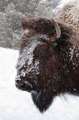 Bison in winter - Yellowstone Guidelines