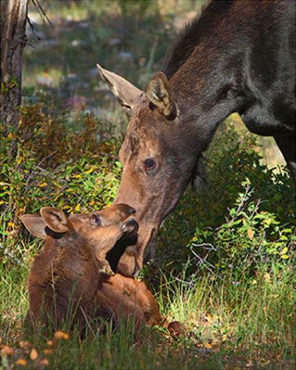 Moose with calf - Yellowstone Guidelines
