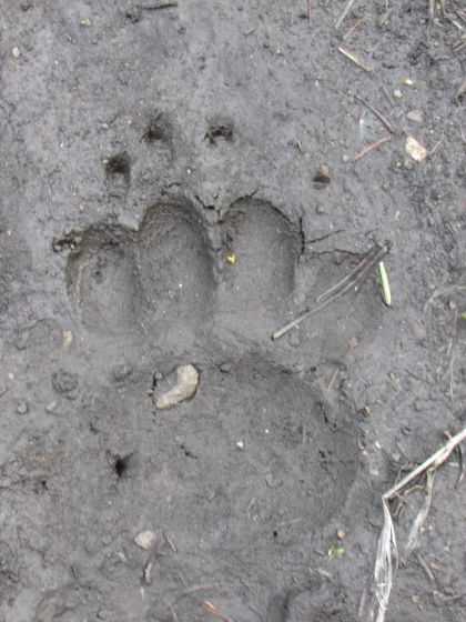 Bear track in mud - Yellowstone