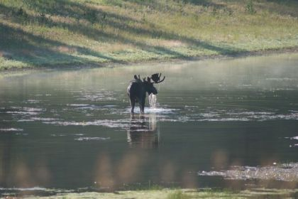 Moose in River in Lamar Valley