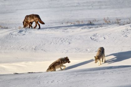 Wolves in Lamar Valley of Yellowstone