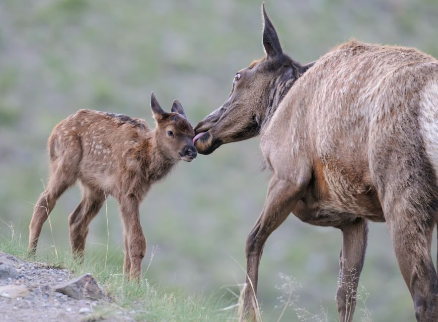 Cow and calf elk in Yellowstone