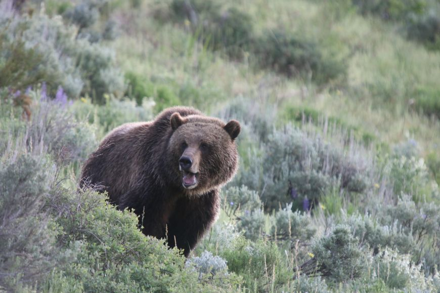 Grizzly bear in Lamar Valley of Yellowstone