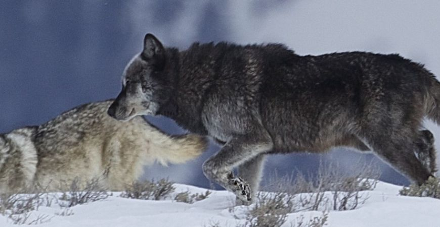 Wolves in winter - Yellowstone Guidelines