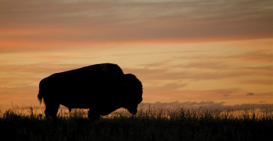 Yellowstone Bison At Sunset