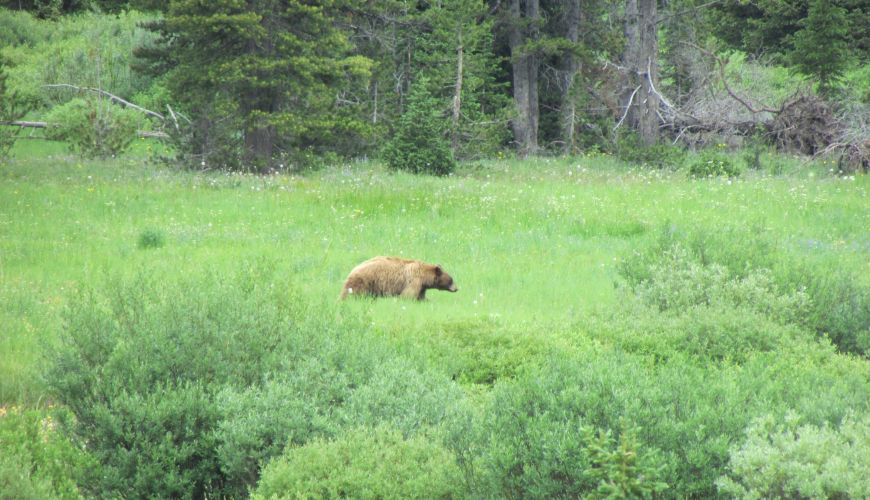 Black Bear along Pebble Creek - Yellowstone Guidelines